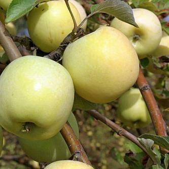 Яблоня антоновка: описание сорта яблок, посадка и уход + фото, отзывы