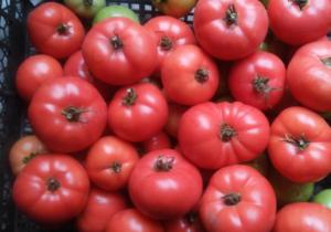 """Томат """"розовое чудо f1"""": описание сорта и фото, рекомендации по выращиванию русский фермер"""