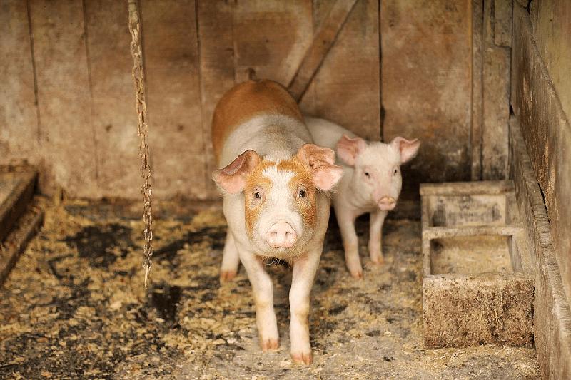 Как запустить бизнес по выращиванию свиней