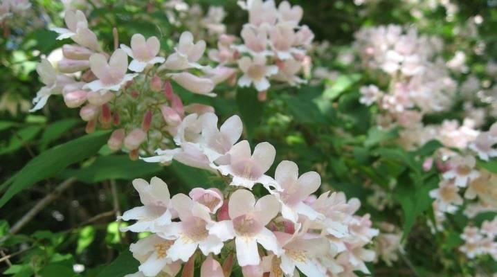 Кольквиция прелестная — необыкновенная красавица в вашем саду