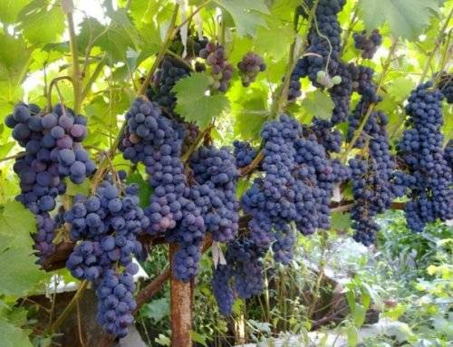 Ливадийский черный виноград: описание и характеристика сорта, выращивание и уход, болезни