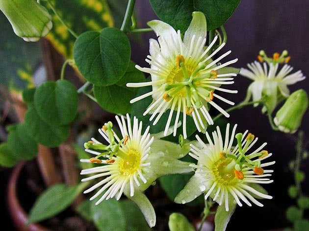 Пассифлора (44 фото): что это такое? посадка и уход за цветком в домашних условиях, описание видов растения страстоцвет съедобный и голубой, пассифлора инкарнатная и «маэстро»