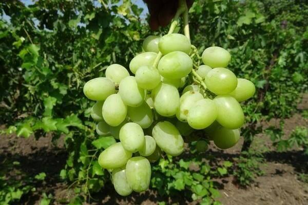 Сорт винограда ландыш