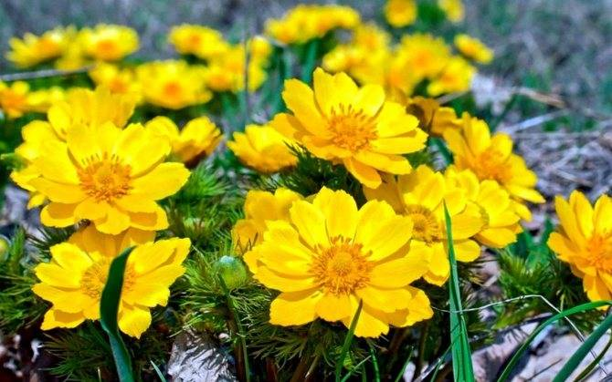 Адонис весенний - посадка и уход, выращивание и применение, фото