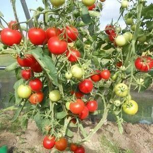 Томат верлиока: какие плюсы и минусы имеет сорт, отзывы фермеров, фото плодов и нюансы получения богатого урожая