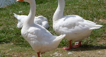 К чему снятся белые гуси? толкование сна с белым гусем по сонникам