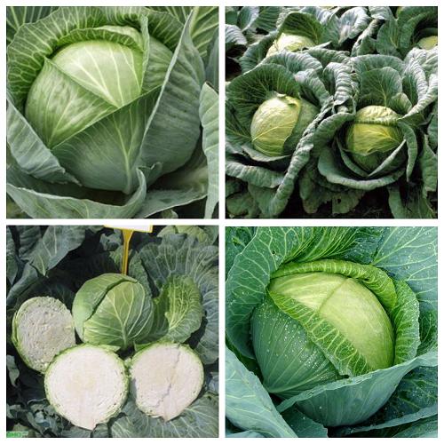 Капуста крауткайзер f1: описание сорта, отзывы и урожайность