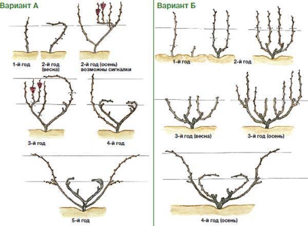 Обрезка винограда: когда лучше обрезать, способы формирования винограда, особенности в беларуси, сибири, на кубани и в других регионах