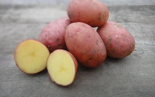 Картофель лабелла – описание сорта, фото, отзывы