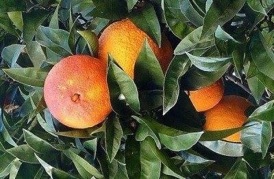Красный апельсин: как называется, польза, отзывы