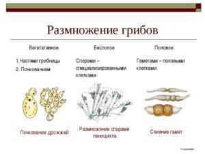 Особенности размножения грибов