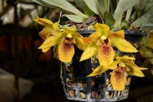 Нежные сорта орхидей: ликаста, лелия, липарис, променея