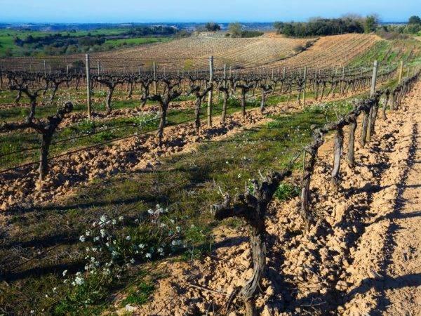 Когда открывать виноград после зимы в украине и уход за ним
