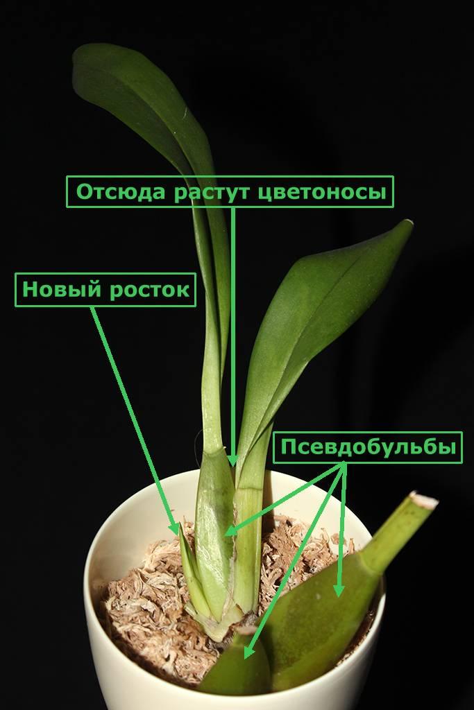 Орхидея камбрия - уход в домашних условиях   ароматы и цветы для здоровья-красоты