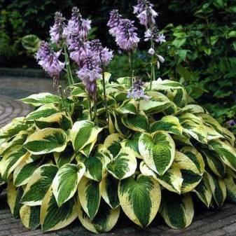 Хоста брим кап —  как выращивать растение