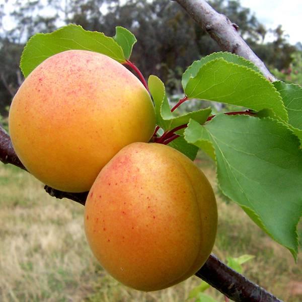 Как вырастить абрикос из косточки: особенности посадки, ухода и плодоношения