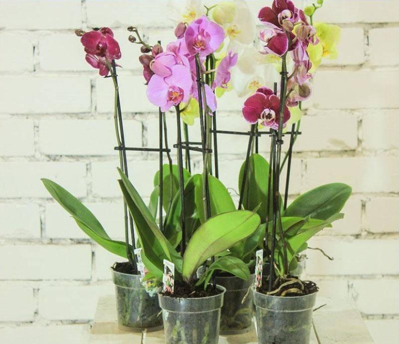 Орхидеи мини: уход в домашних условиях, особенности того, как поливать и пересаживать в закрытую систему с фото
