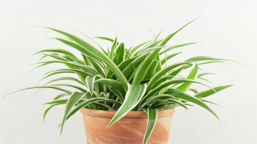 Хлорофитум: как правильно поливать и где разместить уникальное растение. размножение хлорофитума просто