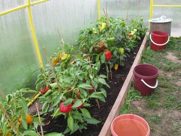 Как правильно и когда сажать перец на рассаду дома