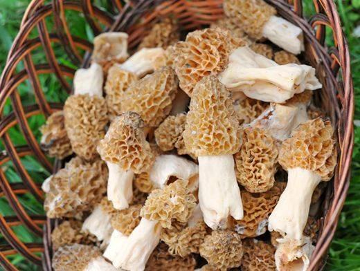 Строчок обыкновенный: можно ли есть этот гриб?