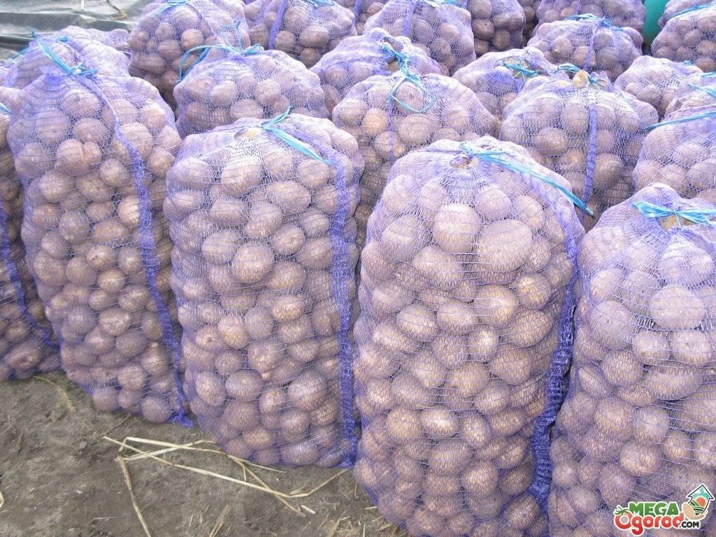 Урожайность картофеля с 1 сотки и с 1 гектара