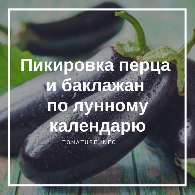 Пикировка рассады баклажан: нужна ли она, когда лучше проводить, как правильно пикировать саженцы русский фермер
