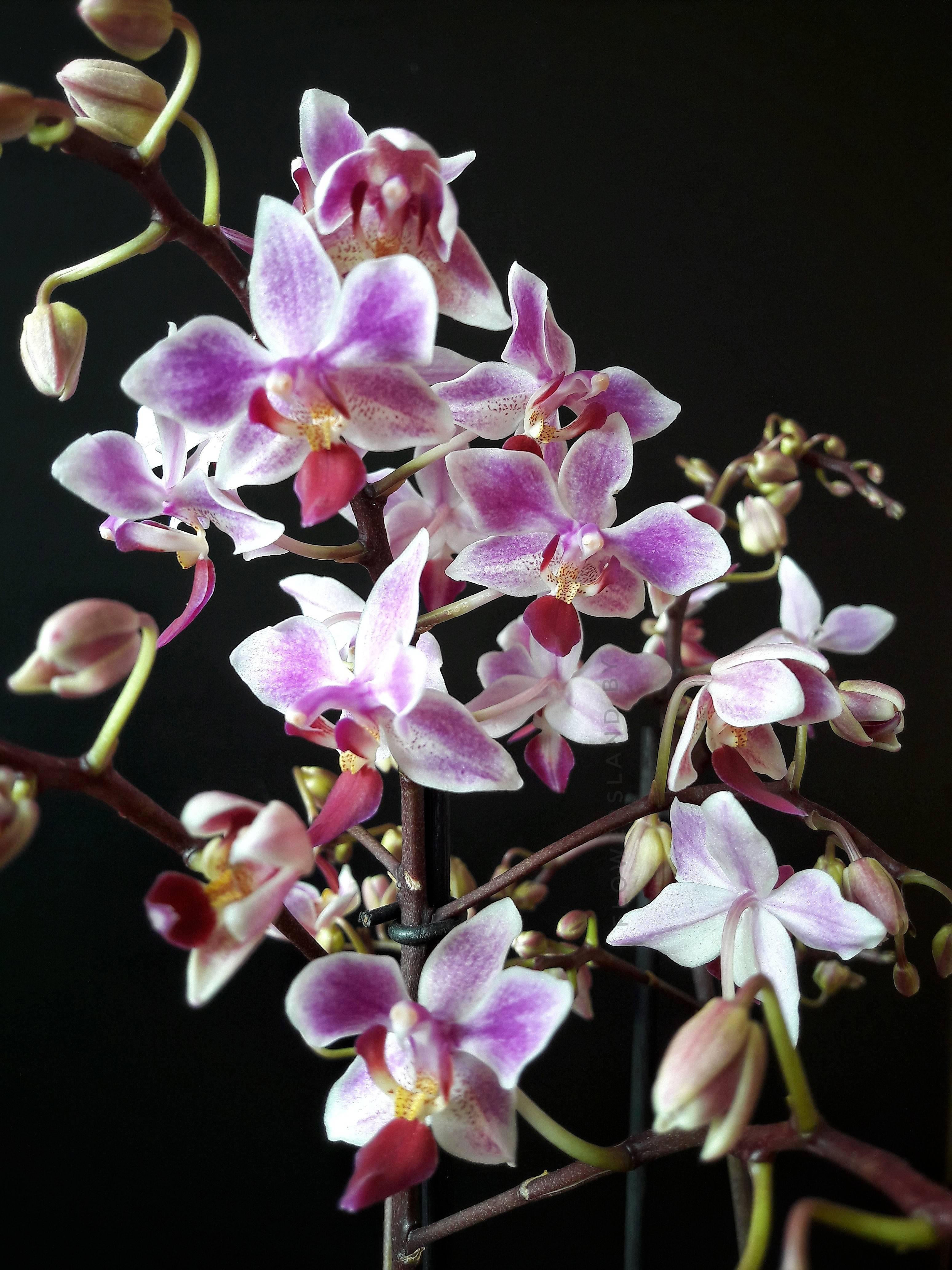 Сорта фаленопсисов чармер, чарминг, эквестрис, falstaff: описание и фото орхидей