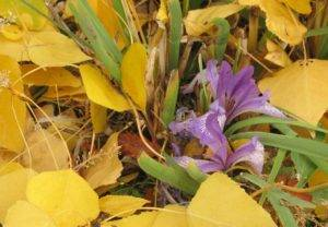 Уход за розами осенью – подготовка к зиме, подкормка, обрезка кустов + фото