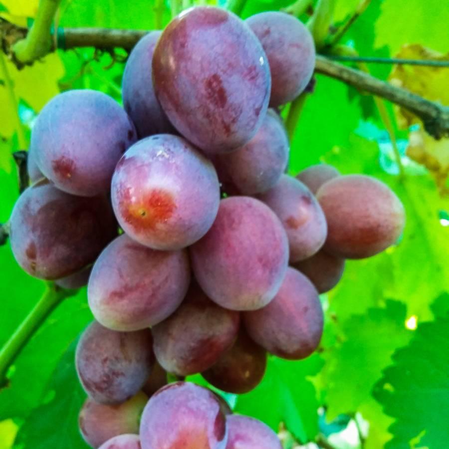 Сорт винограда «эверест»