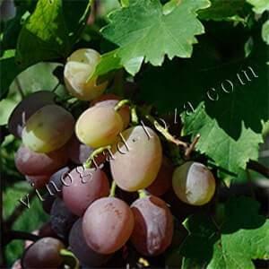 Виноград рута: описание сорта, фото, видео, отзывы — selok.info