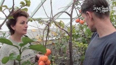 Хурма: посадка и выращивание в украине