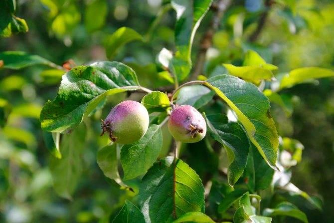 Почему яблоня не цветет и не плодоносит 3, 4, 5 лет: причины и советы
