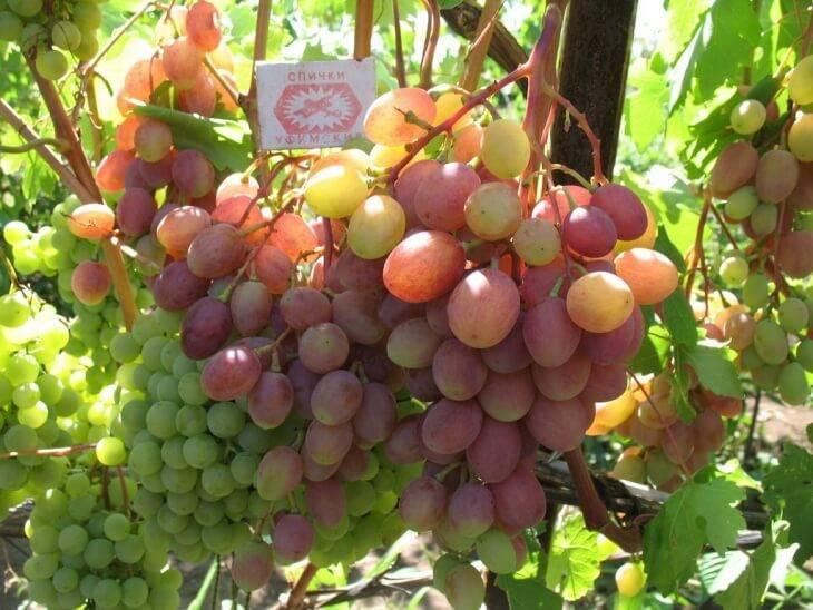 Виноград румба описание сорта фото отзывы видео. виноград румба: особенности сорта и условия для выращивания