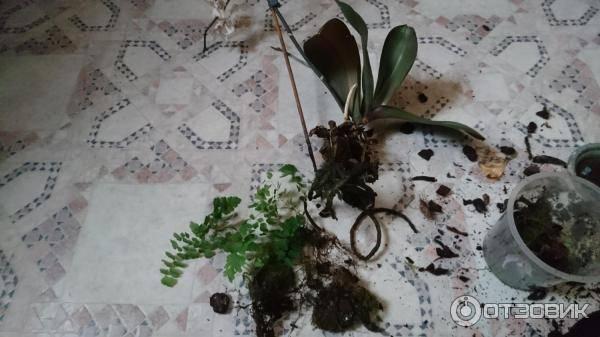 Как посадить орхидею в домашних условиях: как правильно и какой выбрать горшок, во что определить луковицу и детку, можно ли в корягу, и ошибки новичков при уходе русский фермер