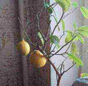 Как растет помело? где растет помело? как вырастить помело в домашних условиях - мы дачники