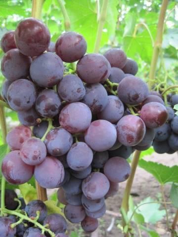 Виноград рошфор: описание сорта, фото, отзывы