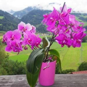 Как пересадить орхидею – пошаговый алгоритм и советы цветоводов