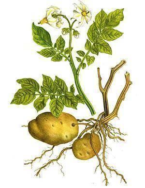 Картофельный сок в народной медицине