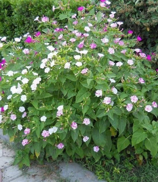 Выращивание мирабилиса (ночной красавицы) из семян и уход за растением