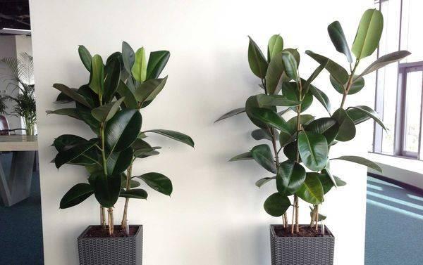 Превосходное растение для жилища и офиса — фикус бенджамина «пестролистный»