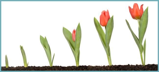 Почему не цветут тюльпаны?