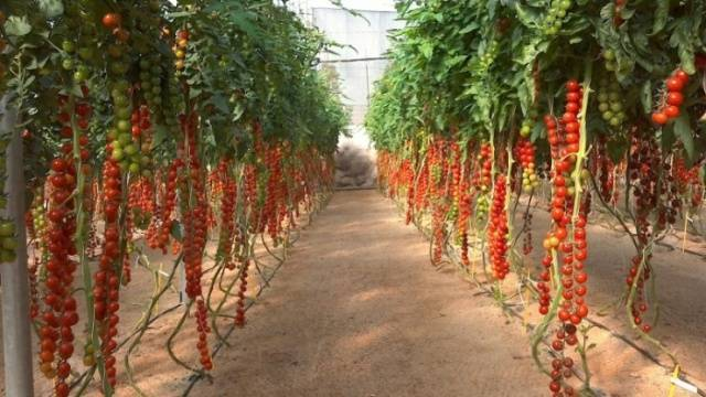 Классификация помидоров черри. названия и описание сортов