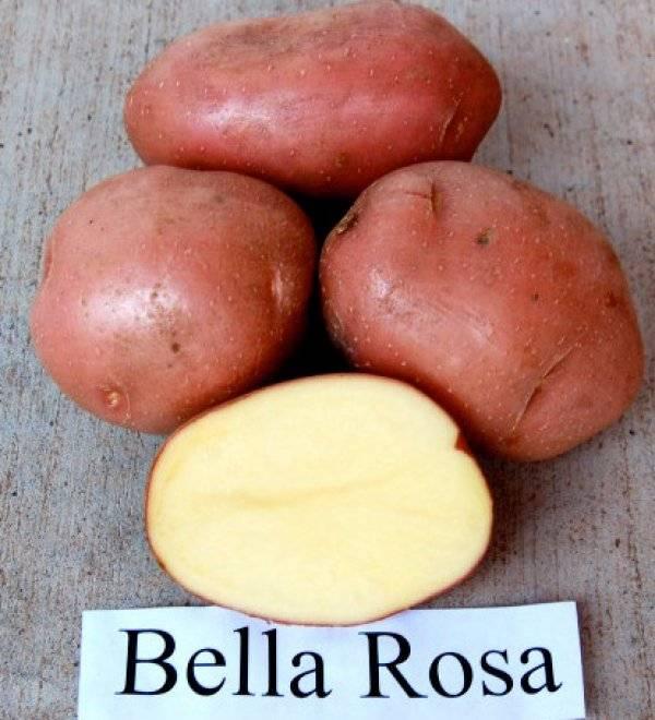 Сорт картофеля лабелла: описание и характеристика, отзывы
