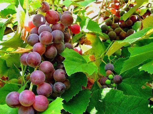 Вредители и болезни винограда, описание с фотографиями и способы лечения