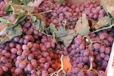 Виноградники: вячеслава король, курдюмова, шпака и другие