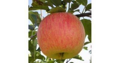 Сорт яблони штрейфлинг – описание, фото