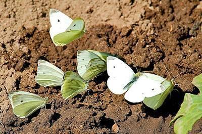 Капустная белянка - эффективные методы борьбы с капустницей