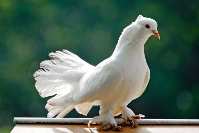 Как правильно разводить голубей: комплексные советы