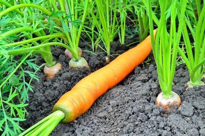 Посев семян моркови в яичные контейнеры — самый простой способ, пошаговая инструкция