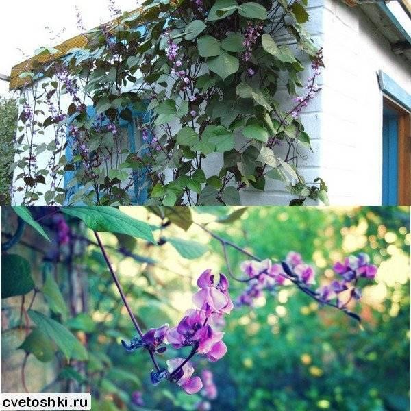 Фасоль декоративная вьющаяся: описание, фиолетовые и красноцветущие сорта, посадка и уход за ними